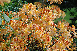 Golden Lights Azalea (Rhododendron 'Golden Lights') at Glasshouse Nursery