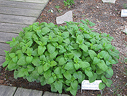 Lemon Balm (Melissa officinalis) at Glasshouse Nursery