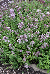 Oregano (Origanum vulgare) at Glasshouse Nursery