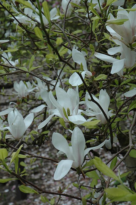 White Saucer Magnolia Magnolia X Soulangeana Alba In Chatham