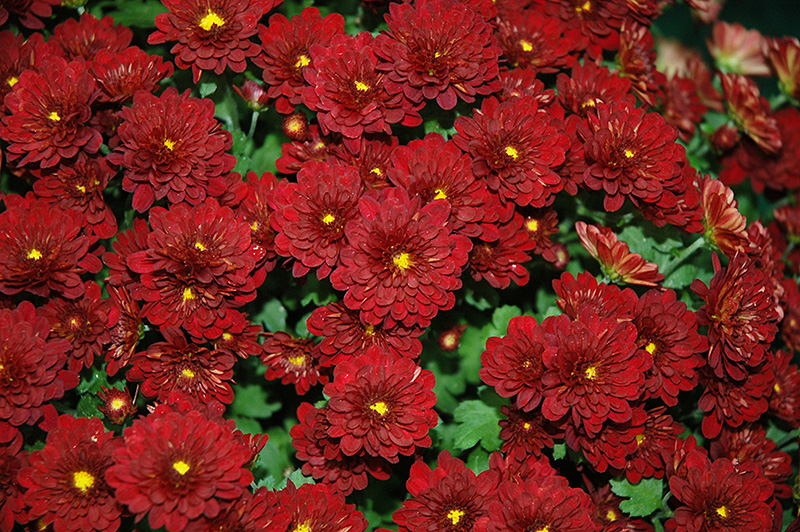 Meridian Deep Red Chrysanthemum Chrysanthemum Meridian
