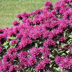 Perennial Photo