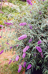 Charming Butterfly Bush (Buddleia davidii 'Charming') at Glasshouse Nursery