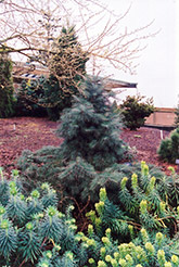 Weeping White Fir (Abies concolor 'Pendula') at Glasshouse Nursery