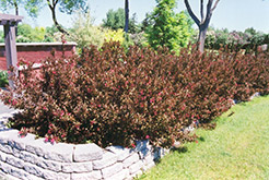 Wine and Roses® Weigela (Weigela florida 'Alexandra') at Glasshouse Nursery