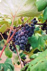 Common Grape (Vitis vinifera) at Glasshouse Nursery