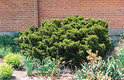 Dwarf Japanese Yew (Taxus cuspidata 'Nana') at Glasshouse Nursery