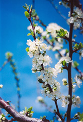 Mount Royal Plum (Prunus 'Mount Royal') at Glasshouse Nursery
