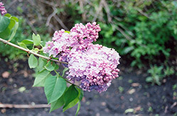 Charm Lilac (Syringa vulgaris 'Charm') at Glasshouse Nursery