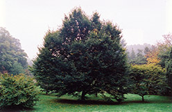 European Hornbeam (Carpinus betulus) at Glasshouse Nursery
