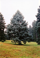 Candicans White Fir (Abies concolor 'Candicans') at Glasshouse Nursery
