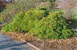 Dwarf Threadleaf Falsecypress (Chamaecyparis pisifera 'Filifera Nana') at Glasshouse Nursery