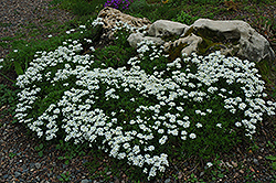 Candytuft (Iberis sempervirens) at Glasshouse Nursery