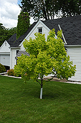 Princeton Gold Maple (Acer platanoides 'Princeton Gold') at Glasshouse Nursery