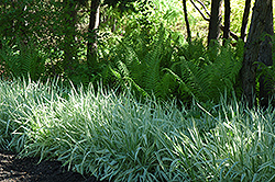 Variegated Ribbon Grass (Phalaris arundinacea 'Picta') at Glasshouse Nursery