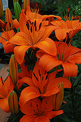 Orange Pixie Lily (Lilium 'Orange Pixie') at Glasshouse Nursery