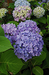 Endless Summer® Hydrangea (Hydrangea macrophylla 'Endless Summer') at Glasshouse Nursery