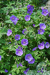 Johnson's Blue Cranesbill (Geranium 'Johnson's Blue') at Glasshouse Nursery