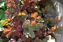 Chocolate Ruffles Coral Bells (Heuchera 'Chocolate Ruffles') at Glasshouse Nursery