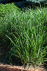 Switch Grass (Panicum virgatum) at Glasshouse Nursery