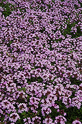 Red Creeping Thyme (Thymus praecox 'Coccineus') at Glasshouse Nursery