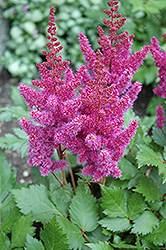 Visions Astilbe (Astilbe chinensis 'Visions') at Glasshouse Nursery