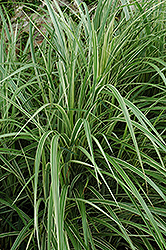 Variegated Silver Grass (Miscanthus sinensis 'Variegatus') at Glasshouse Nursery