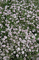 Pink Fairy Baby's Breath (Gypsophila paniculata 'Pink Fairy') at Glasshouse Nursery