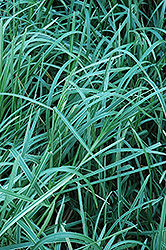 Variegated Sweet Grass (Glyceria maxima 'Variegata') at Glasshouse Nursery