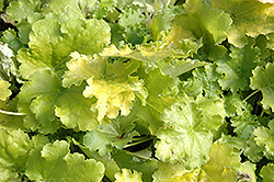 Lime Rickey Coral Bells (Heuchera 'Lime Rickey') at Glasshouse Nursery