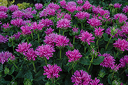 Petite Delight Beebalm (Monarda 'Petite Delight') at Glasshouse Nursery