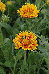 Oranges And Lemons Blanket Flower (Gaillardia x grandiflora 'Oranges And Lemons') at Glasshouse Nursery