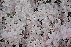 White Lights Azalea (Rhododendron 'White Lights') at Glasshouse Nursery