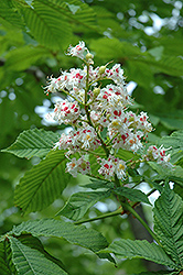 Horse Chestnut (Aesculus hippocastanum) at Glasshouse Nursery