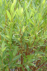 Flame Willow (Salix 'Flame') at Glasshouse Nursery
