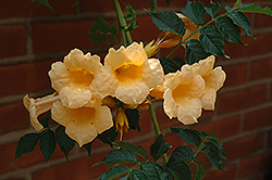 Yellow Trumpetvine (Campsis radicans 'Flava') at Glasshouse Nursery