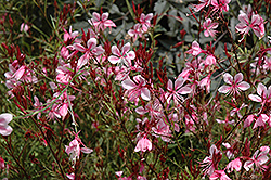 Butterfly Gaura (Gaura lindheimeri) at Glasshouse Nursery