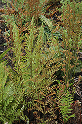 Royal Fern (Osmunda regalis) at Glasshouse Nursery