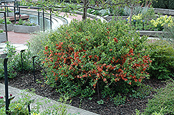 Japanese Flowering Quince (Chaenomeles japonica) at Glasshouse Nursery