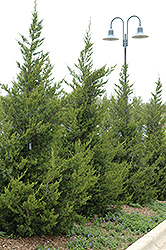Fairview Juniper (Juniperus chinensis 'Fairview') at Glasshouse Nursery