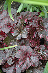 Midnight Rose Coral Bells (Heuchera 'Midnight Rose') at Glasshouse Nursery
