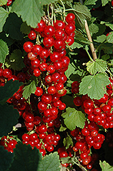 Red Lake Red Currant (Ribes sativum 'Red Lake') at Glasshouse Nursery