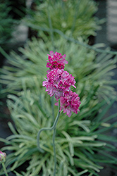 Nifty Thrifty Sea Thrift (Armeria maritima 'Nifty Thrifty') at Glasshouse Nursery