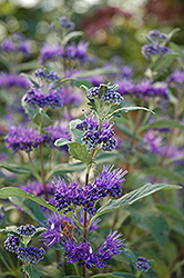 Dark Knight Caryopteris (Caryopteris x clandonensis 'Dark Knight') at Glasshouse Nursery