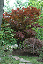 Oshio Beni Japanese Maple (Acer palmatum 'Oshio Beni') at Glasshouse Nursery