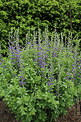 Blue Wild Indigo (Baptisia australis) at Glasshouse Nursery