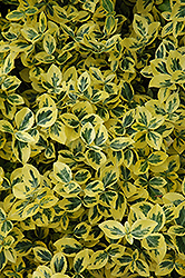 Emerald 'n' Gold Wintercreeper (Euonymus fortunei 'Emerald 'n' Gold') at Glasshouse Nursery