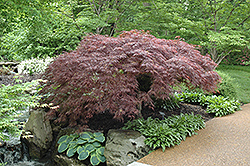 Red Select Japanese Maple (Acer palmatum 'Red Select') at Glasshouse Nursery