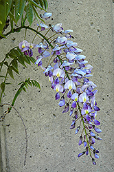 Blue Sapphire Wisteria (Wisteria sinensis 'Blue Sapphire') at Glasshouse Nursery