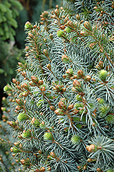 Papoose Dwarf Sitka Spruce (Picea sitchensis 'Papoose') at Glasshouse Nursery